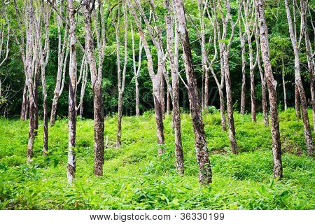 Rubber Trees Hevea Forest At Thailand