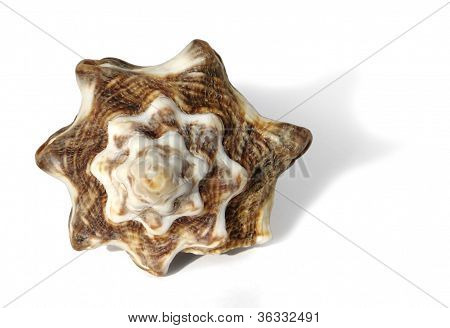 Brown Marbled Seashell