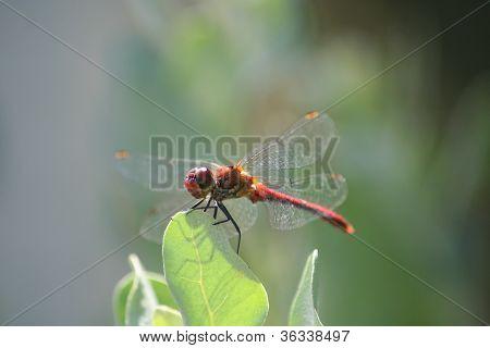 Symetrum sanguineum ruddy darter dragonfly on leaf