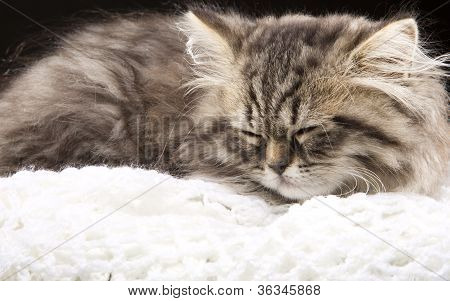 Lovely Persian Kitten Sleeoing On Black Background