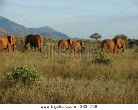 Elephants On The Savanna At Afternoon