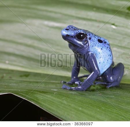 Blue poison dart frog dendrobates azureus,endangered amphibian species of tropical amazon rainforest Suriname