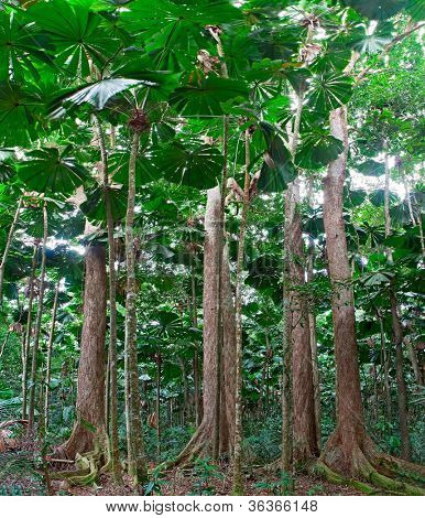 rainforest trees at tropical rain forest Cape Tribulation in Queensland Australia, lush jungle with fan palm tree