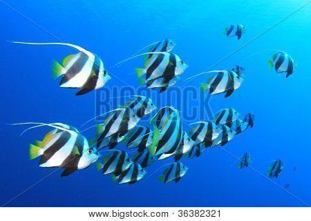 Tropical Fish Shoal: Schooling Bannerfish in blue ocean