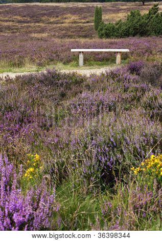 Bench on a path through the blooming heath