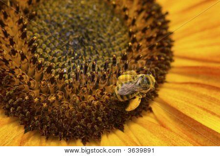 A Honey Bee Hard At Work.