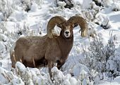 image of sagebrush  - Big Horn Sheep Ram in Yellowstone National Park