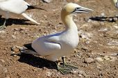 pic of gannet  - Colony of Northern Gannets sunbathing off Bonaventure Island Quebec - JPG