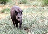 Baird's Tapir Walking Through Forest Searching For Food. This Is The Largest Land Mammal In Central