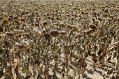 stock photo of drought  - Natural disaster drought in a sunflowers field Serbia Vojvodina 2012 - JPG