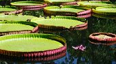 Giant Water Lily - Victoria amazonica poster