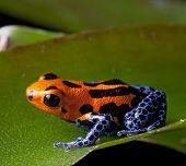 Постер, плакат: красный полосатый яд Дарт Лягушки синий ноги тропических лесов Амазонки в Перу ядовитых животных тропических r
