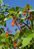 picture of phaseolus  - Kidney Beans blooming  - JPG