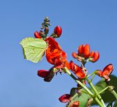 stock photo of phaseolus  -  Kidney Beans blooming  - JPG