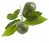 stock photo of avocado tree  - Avocado fruits with leaves from Avocado tree - JPG
