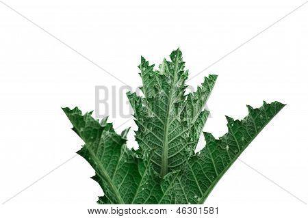 Cardo Bush