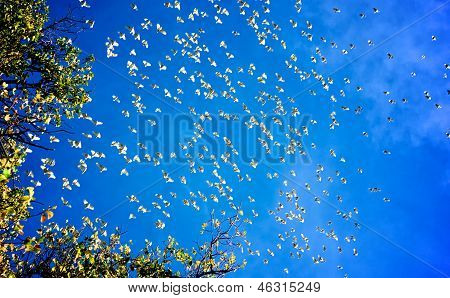 Flock Of Cockatoos