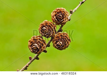 Four Pinecones