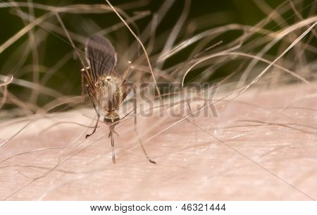 Gnat Or Mosquito On Hairy Skin