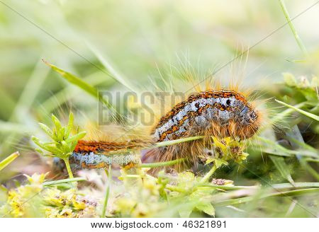 Hairy Orange Larva On Grass