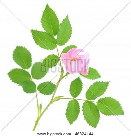 Dogrose Flower