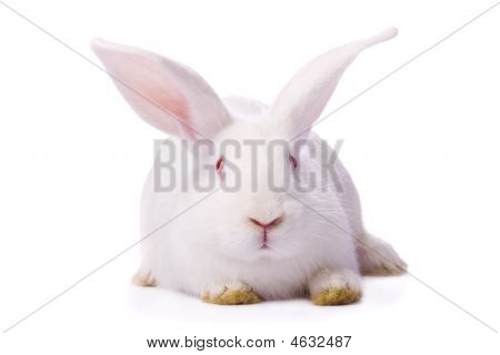 Timid Young White Rabbit