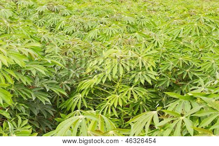 Cassava or Manioc plantation is grown