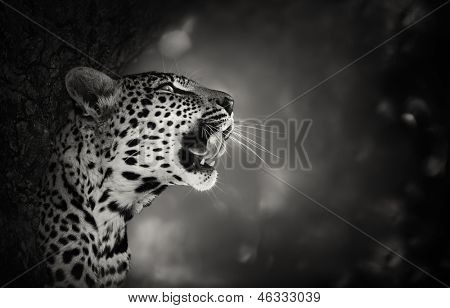 Retrato de leopardo (transformação artística) - Kruger National Park - África do Sul