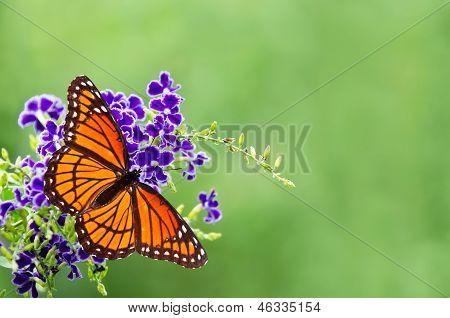 Vizekönig Schmetterling (Limenitis Archippus)