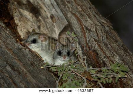 Black-tailed Tree Rat