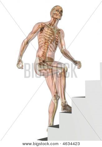Skeleton With Muscles - Climbing Stairs