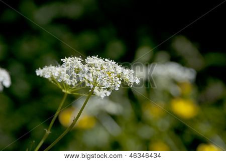 Cow Parsley / Queen Anne's Lace Flowers In The Summer Sun