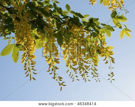 Laburnum With A Blue Sky As A Background