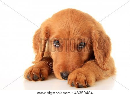Golden Retriever Welpe.