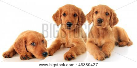 Three Golden Retriever puppies.