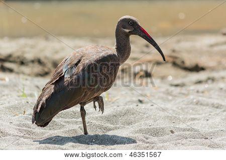 Wattled Ibis