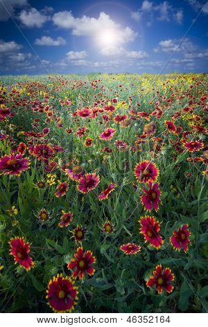 Texas Sunflowers