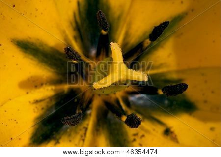 Close Up Of A Papaveracee Papaver Rhoeas