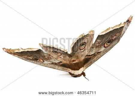 Beautiful Giant Silk Moth Butterfly