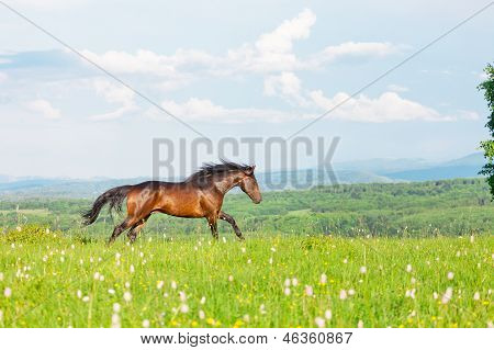 Bay Arab racer on a meadow against mountains