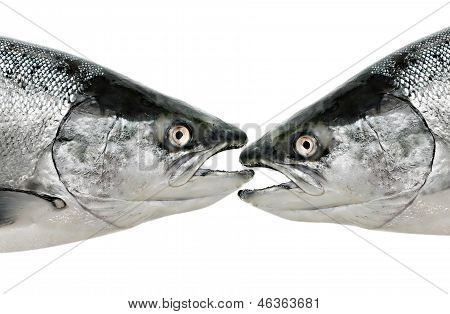 Fish Eat Fish Close Up Isolated