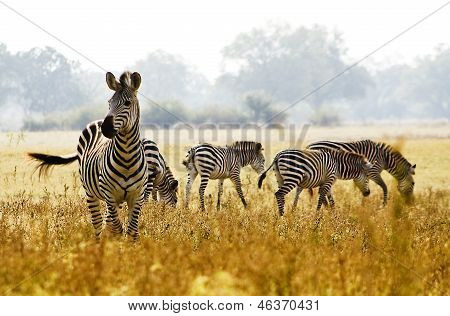 Zebra herd in the wild