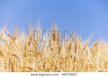 Close-up Ears Of Wheat Against The Sky
