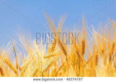 Harvest Of Ripe Wheat