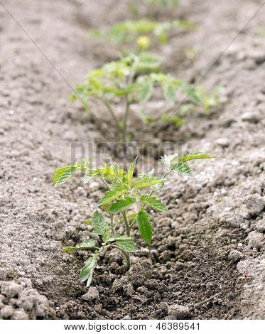 Planta de tomate pequeno