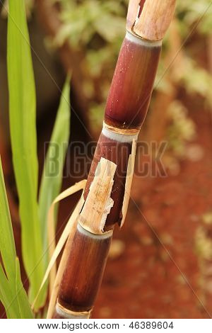 Sugarcane Crop(stem) Fully Ripe Ready For Industrial Extraction Of Sugar