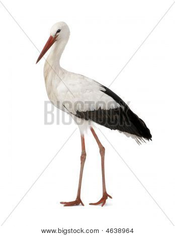 White Stork  Ciconia Ciconia 18 Months