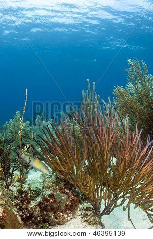 Underwater Coral Reef, Pterogorgia Guadalupensis