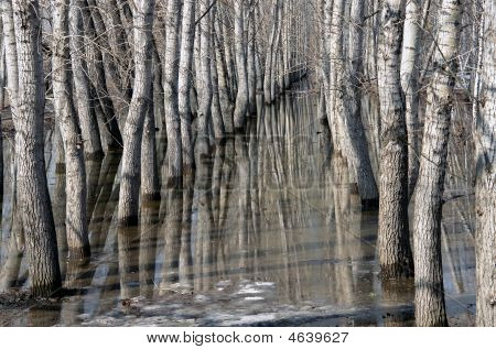 Trunks Of Poplars In Thawed Snow