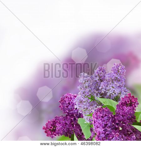 Branch with lilac flowers on white